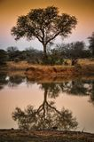 African waterhole with tree reflection at sunset Royalty Free Stock Photography