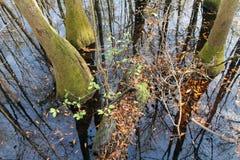 Reflection of Trees at Congaree National Park Royalty Free Stock Image