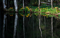 Reflection of Trees in Forest, Ukraine. Summertime Trees in The Carpathians, Ukraine, reflected in small pond Royalty Free Stock Photos