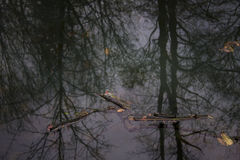 Reflection of trees in water Royalty Free Stock Photo