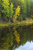 Reflection of trees in water of the river Mologa. Steep Bank with trees reflected in the water Royalty Free Stock Images