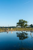 Reflection of trees and white cows Stock Photo