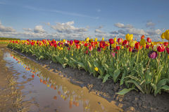Reflection of Tulips Royalty Free Stock Photo