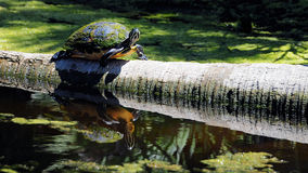 Reflection of a Turtle Stock Photo