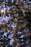 Reflection in water. Reflection of tree leaf in river royalty free stock photography