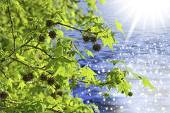 Reflection in water. This image shows some branches of maple with seeds, backlight, and water-bottom with reflections of the sun Royalty Free Stock Image