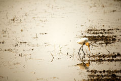 Bird. The reflection on the water Stock Images