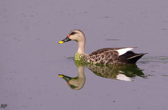 Reflection in water of Duck Teal royalty free stock image