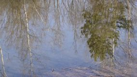 Reflection in water. High birch and pine trees are reflected in the pond stock footage