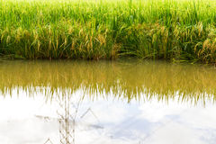 Reflection water in rice Stock Photography