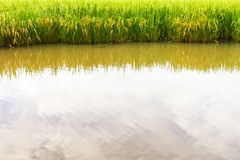 Reflection water in rice Stock Image