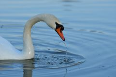 Lovely Reflection in water of swimming white swan on the water lake. Reflection in water of swimming beauty white swan on the lake Royalty Free Stock Images
