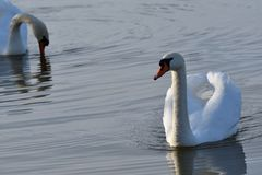 Lovely Reflection in water of swimming white swan on the water lake. Reflection in water of swimming beauty white swan on the lake Royalty Free Stock Photo
