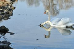 Lovely Reflection in water of swimming white swan on the water lake. Reflection in water of swimming beauty white swan on the lake Stock Photo