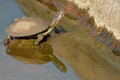 Reflection of a water terrapin. Royalty Free Stock Photos