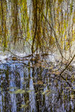 Reflection of the weeping willow Royalty Free Stock Photography