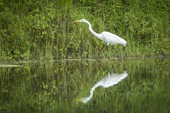 Reflection of a white egret. A white egret on the shore of a pond casts a reflection in calm water near Deleon Springs, Florida Royalty Free Stock Images