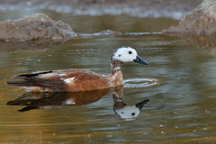 Reflection. White faced Duck at waterhole in Kgalagadi Transfrontier Park Royalty Free Stock Image