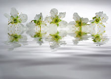 Reflection of white mirabelle Stock Photo