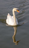 Reflection white swan. Reflection of long neck white swan on the water Royalty Free Stock Photography