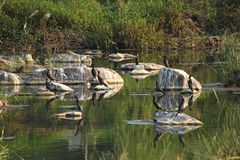 Reflection of 12 wild black cormorant birds. stock image