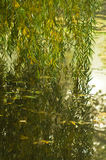 Reflection of willow branches touching water at small lake Royalty Free Stock Images