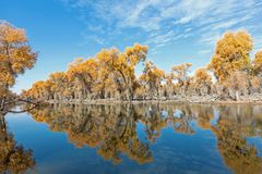 Reflection of Yellow populus euphratica forest in water. At autumn Royalty Free Stock Photo