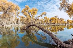 Reflection of Yellow populus euphratica forest in water. At autumn Stock Photography