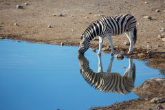 Reflection of a zebra Stock Images