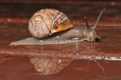 Reflectionn della lumaca la pioggia Fotografie Stock Libere da Diritti