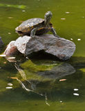 Reflections. Big turtle standing on a rock in the middle of lake Stock Photography