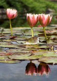 Reflections. Waterlilies and their reflections in the water Stock Photo