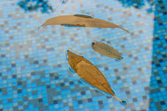 Reflections against leaves floating in the pool is enjoyable to look at and can bring happiness. These leaves in the pool have bee. N floating around on the Royalty Free Stock Image