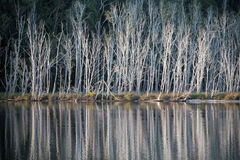 Reflections. Bare autumn trees reflecting in lake Stock Photo