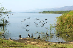 The reflections of the birds on the lake. The birds flying on the edges of the Lake Kivu overshadow to lake Stock Image