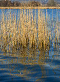 Reflections of cane thicket on lake Alserio  (North Italy) Stock Photography