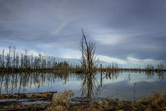 Reflections of Dead Tree in Quiet PondDead trees, sky color, and clouds all reflected in calm pond. Royalty Free Stock Images