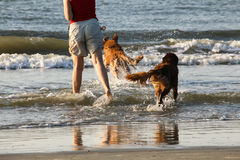 Reflections of Dogs in Surf Stock Photos
