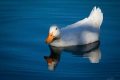 Reflections of a duck`s tale. Stock Image