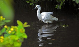 Reflections of an Egret. In the Coy Pond Bournemouth Stock Photos