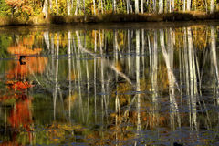 Reflections of fall foliage in New Hampshire bog. Dramatic reflections of fall foliage on water of Quincy Bog in Plymouth, New Hampshire Stock Images