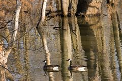 Reflections of Geese Among Bare Tree Trunks. Two geese navigating waters artistically mirroring a series of bare tree trunks creating a shimmery effect Royalty Free Stock Images