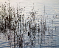 Reflections of grasses in water. Royalty Free Stock Photography