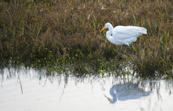 Reflections of a Great Egret. A Great Egret walks through tall grass, its reflection visible in a lake Stock Photography