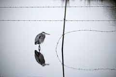 Reflections of a Heron Royalty Free Stock Photo
