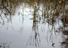 Reflections. Image of reeds in a pond that are reflected in the water Stock Image