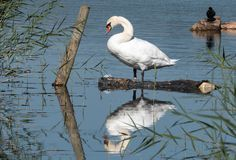 Reflections of a Mute Swan stock images