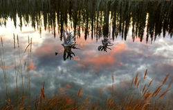 Reflections off pond. In British Columbia Royalty Free Stock Images