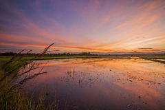Reflections old field rice in twilight time background Royalty Free Stock Images