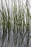 Reflections of Reeds Royalty Free Stock Photos